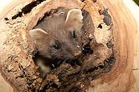 Baummarder, Edelmarder, Marder, Jungtier in Baumhöhle, Martes martes, Pine marten, Martre des pins
