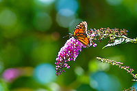Monarch butterfly lands on purple flower at the Children's garden in Pearl City, Oahu