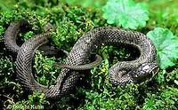 1R09-006b  Garter Snake - Thamnophis sirtalis