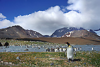 SOUTH GEORGIA - ST. ANDREW'S BAY<br /> King Penguin colonies of thousands of birds<br /> <br /> Full lsize: 69,2 MB