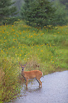 A Wisconsin white-tailed buck stands in the rain on an August day in northern Wisconsin.