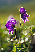Monkshood backlit by late summer sun, Denali National Park, Alaska