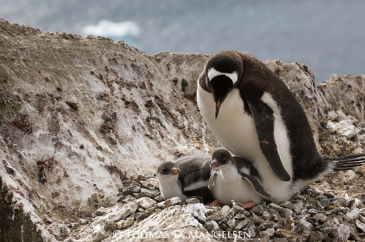 A Gentoo penguin at its nest with its chicks on Brown Bluff in the Antarctic Peninsula.