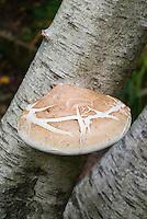 Fungus, fungi, mushroom, on betula birch tree, Birch Bracket Fungi, Piptoporus betulinus. Also known as Birch Polypore or razor strop, fruiting body. Edible but bitter medicinal plant. basidiocarps. Necrotrophic parasite on weakened birches, and will cause brown rot