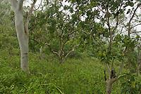 Forest on the upper slopes of Mount Manucoco, Atauro Island, Timor-Leste (East Timor)