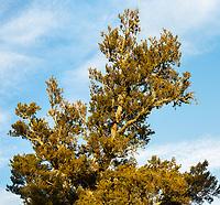 Close up of totara tree, South Westland, New Zealand, NZ