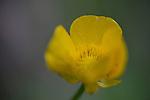 Bush flower, Cinquefoil (Potentilla fruticosa). Found on Henry Head walk in Kamay Botany Bay National Park, La Perouse, Sydney NSW Australia