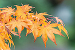 WA, Seattle, Autumn Leaves