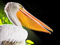 Pelican at the Wildlife and Bird Sanctuary Langkawi, Malaysia