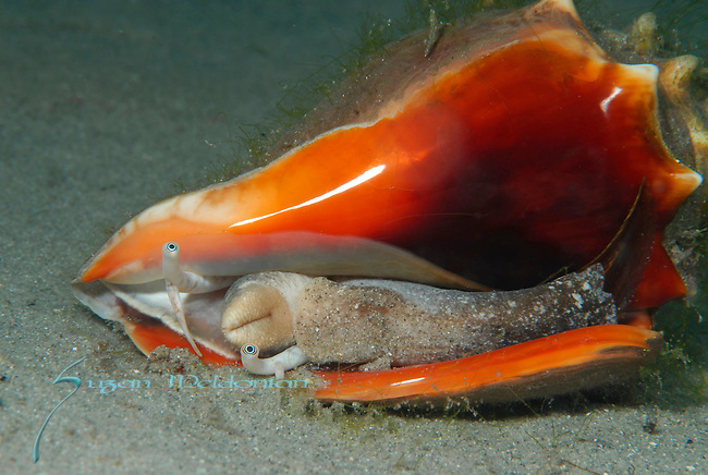 West Indian Fighting Conch Mating posture