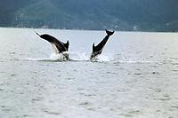 common bottlenose dolphin, Tursiops truncatus, Marlborough Sound, Queen Charlotte Straight Highway, South Island, New Zealand, Pacific Ocean