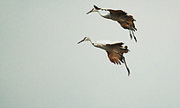 """""""Sandhill Crane Migration G1D_0050""""  Aldo Leopold Foundation  Wisconsin River 