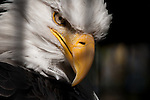 Freedom denied.  Bald Eagle in a cage. The National Symbol as a captive, stares out proudly from behind bars. A tight portrait.