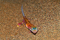 Web-footed Gecko.Palmatogecko rangei.Namibia..Ralph Arwood.Inside-Out Photography, Inc..PO Box 7578.Naples, FL 34101.941-649-4209.RalphArwood@earthlink.net
