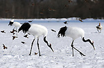 Japanese red crowned cranes at Akan International Crane center in Kushiro.<br />