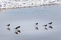 A half dozen small birds, likely Sanderlings, prowl the sands for food at Pescadero State Beach on the California coast.  If sanderlings, this is a grain, their collective noun.