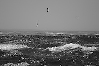 Shearwaters in a gale off Wollongong