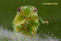 SP08-666z  Meadow Spittlebug nymph, close-up of face and beak,  Philaenus spumarius