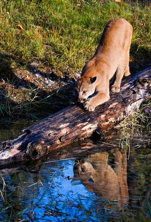 Mountain Lion stretching on a log lying in a pond - CA