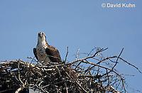 0608-0901  Osprey Sitting On and Caring for its Nest (Sea Hawk), Pandion haliaetus  © David Kuhn/Dwight Kuhn Photography
