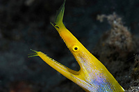 ribbon eel, Rhinomuraena quaesita, transforming body coloration from male blue to female yellow or vice versa, Lembeh Strait, Celebes Sea, North Sulawesi, Indonesia