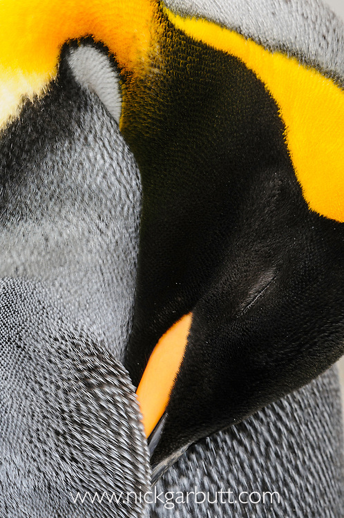 King Penguin (Aptenodytes patagonicus) preening. Salisbury Plain, South Georgia, South Atlantic.