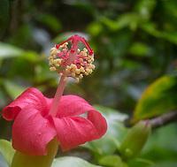 Kokiʻo ʻulaʻula (or Hibiscus clayi, or Hawaiian red hibiscus), Kalopa State Park, Hamakua district of the Big Island.