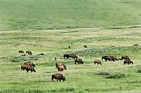 American Bison (Bison bison) herd.  Western U.S., spring.