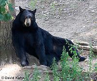 1021-1010  American Black Bear Resting on its Back Against a Tree, Ursus americanus  © David Kuhn/Dwight Kuhn Photography
