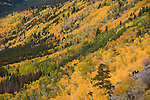 fall, color, aspen, Populus tremuloides, autumn, morning, trees, forest, mountains, landscape, scenic, Bierstadt Moraine, Rocky Mountain National Park, Colorado, Rocky Mountains, USA