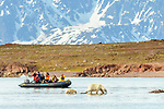 Female polar bear (Ursus maritimus) with young cub in sea with no ice and watched by tourists. Ice thawed possibly because of global warming / climate change. Woodfjorden, northern Spitsbergen, Svalbard, Arctic Norway.