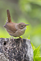 House Wren (Troglodytes aedon aedon), Northern subspecies, on a fence post among fresh Spring leaves.