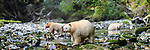 Adult spirit bears or Kermode bears (Ursus americanus kermodei)(pale/white morph of an North American black bear). Along Gwaa stream, Gribbell Island, Great Bear Rainforest, British Columbia, Canada. September 2018.