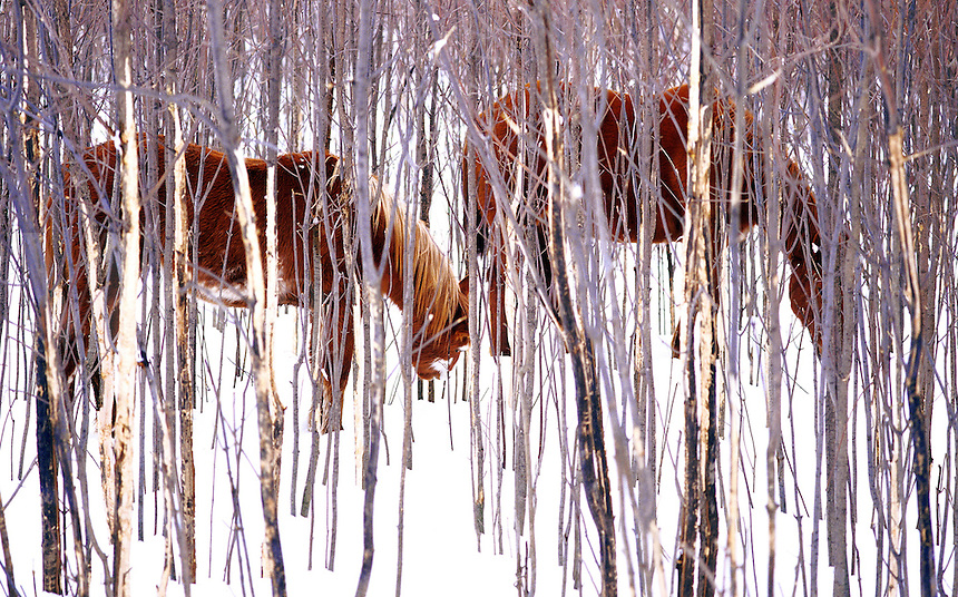 Two horses grazing in North Hero, Vermont.