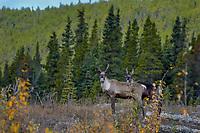 Woodland Caribou or forest-dwelling caribou (Rangifer tarandus caribou).  British Columbia.  Fall.