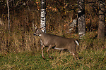 White-tailed buck just spotted a doe during the rut in northern Wisconsin.