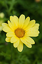 Argyranthemum 'Jamaica Primrose', mid August. A tender evergreen subshrub with glaucous green foliage and primrose yellow flowers from May to October.