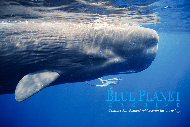 snorkeler and endangered sperm whale, Physeter macrocephalus, Dominica, Caribbean Sea, Atlantic Ocean