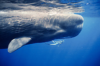snorkeler and endangered sperm whale, Physeter macrocephalus, Dominica, Caribbean Sea, Atlantic Ocean