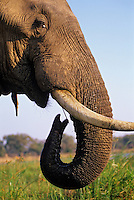African Elephant bull (Loxodonta africana) feeding on island in Zambezi River.