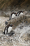 Gentoo penguins on their nests with their chicks on Brown Bluff on the Antarctic Peninsula.