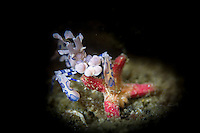 Harlequin Shrimp - Hymenocera picta