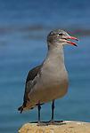 Gulls, Bay Nature, CA