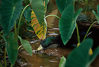 "Cayuga ducks were imported to help control the proliferation of the golden apple snail which is devastating to taro crops in Hawaii. The snail lays eggs on the plant and feeds on the root <br /> of it causing it to wither and die. <br /> The apple snail was introduced to Hawaii in 1989 as a possible cash crop - the escargot of the tropics. It began invading taro patches in Hawaii--a traditional staple crop of native <br /> Hawaiians. <br /> The female crawls out of the water at night and lays eggs on the stalks of plants that look like a wad of pink bubblegum. A female can lay 4,000-8000 eggs that hatch--the density of <br /> snails in Hawaii has reaches 130 per square meter. <br /> Asian entrepreneurs brought the snail from Argentina or Paraguay into Taiwan and then Japan in the late '70s with hopes that it would become a culinary favorite. In the '80s it was <br /> hyped as the ""miracle snail"" in the Philippines and slipped into China, Korea, Malaysia, Thailand, Indonesia, Laos, Papua New Guinea, Vietnam and Hawaii. <br /> No one bothered to check, but the snail was not a culinary favorite among any culture. And in fact, it began creating problems for rice farmers and considered a pest--in the late '90s it <br /> cost Philippine farmers between 25-40 million dollars. <br /> There are always dangers in quick solutions when you use non-native species to battle non- native species. But the fear is that these introduced ducks from California may breed with <br /> the native ducks. Although these are allowed, no more can be imported."
