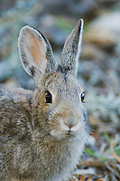 Mountain Cottontail, Sylvilagus nuttalii, adult, Rocky Mountain National Park, Colorado, USA, September 2006