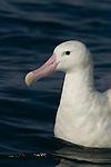 Gibson's Albatross (Diomedea antipodensis gibsoni) on water, Kaikoura, South Island, New Zealand