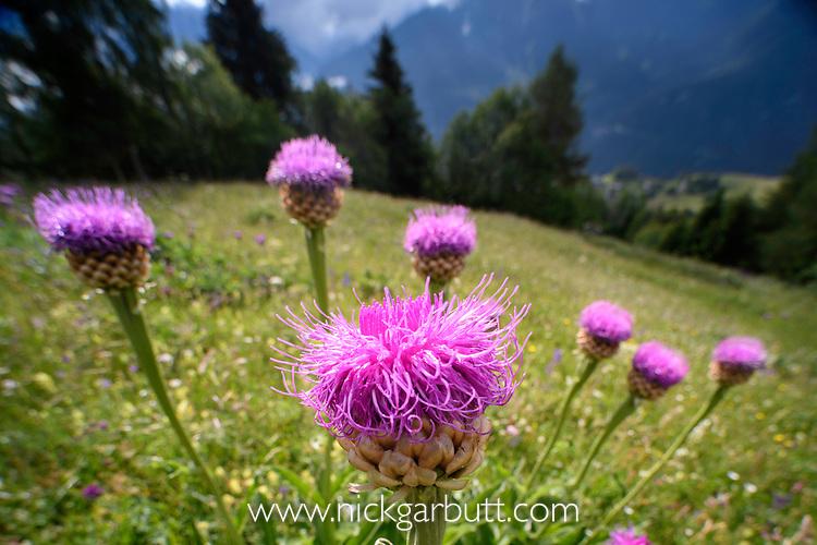 Wide angle view of giant scabiosa (Centauria rhapontica / scariosum) in an ancient Alpine meadow. Nordtirol, Austrian Alps, Austria, June.