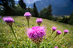 Wide angle view of giant scabiosa (Centauria rhapontica / scariosum) in an ancient Alpine meadow. Nordtirol, Austrian Alps, Austria, June.