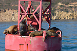 San Diego Bay, San Diego, California; California Sea Lions (Zalophus californianus) haul out of the water on a red channel marker buoy