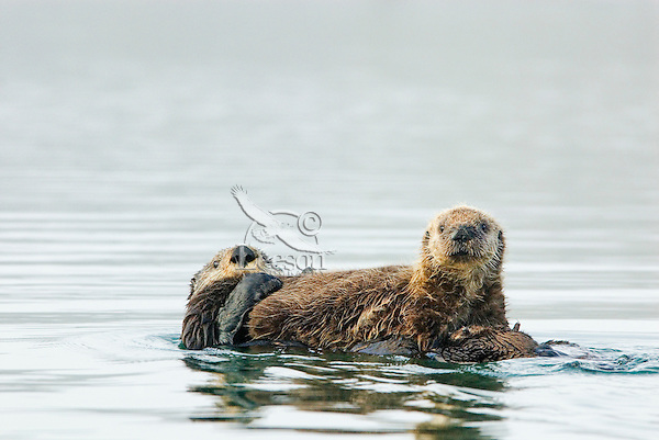 Sea Otters (Enhydra lutris) mother and pup--pup has just finished nursing.